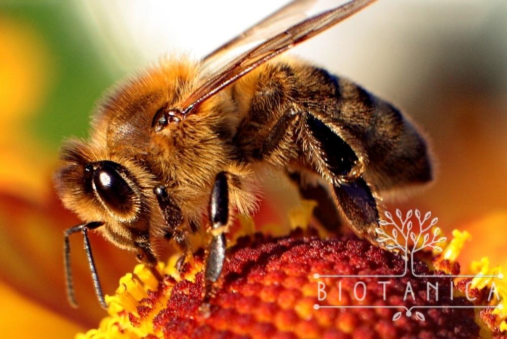 Murarka ogrodowa – przyjazna pszczoła dla Twojego ogrodu